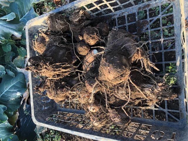 秋に収穫し土中に埋けていた物を掘り出しました