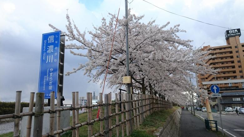 やすらぎ堤 桜
