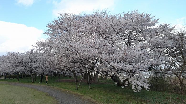 鳥屋野潟 桜