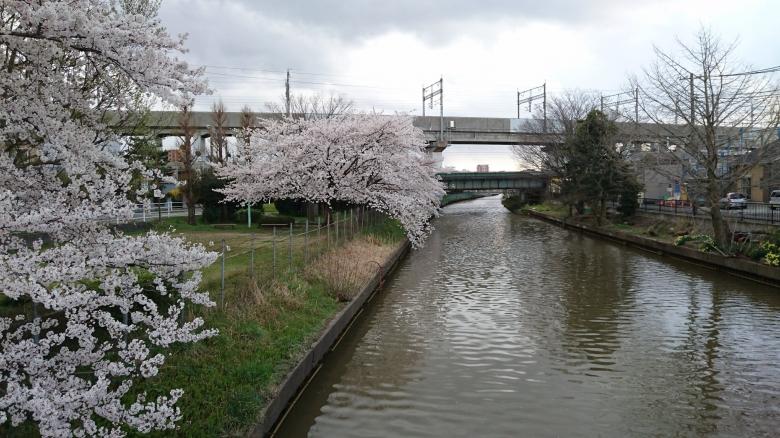 新栗の木川 桜