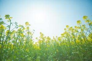 菜の花 太陽