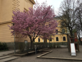ストックホルムで見た桜