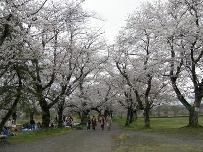 嵐山公園の桜1