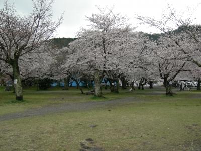嵐山公園の桜2