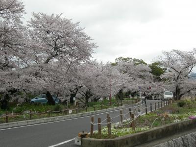 嵐山東公園の桜1