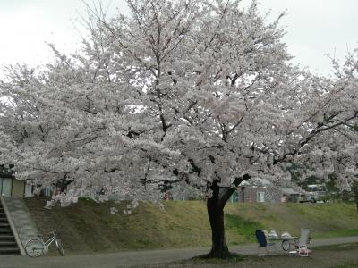 松尾橋たもとの桜