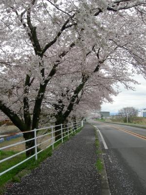 罧原堤の桜のトンネル