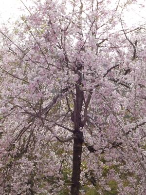 亀山公園内の桜1
