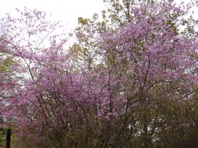 亀山公園内の桜2