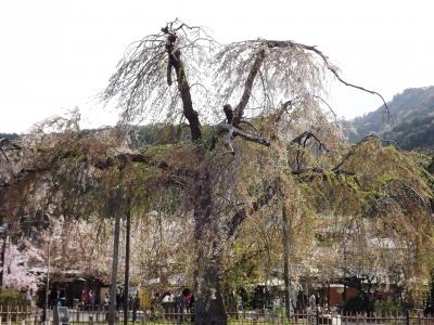 中之島公園内の桜