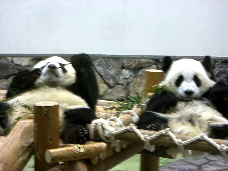 1歳になった双子パンダ