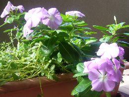 プランターからあふれる花