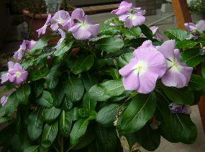 ベランダに咲く花