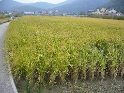 稲刈りの始まり