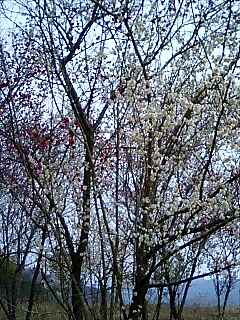 見事な梅の木