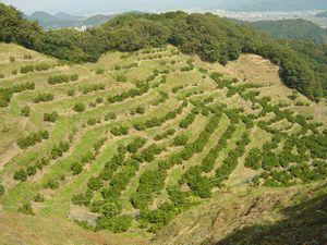 小坂みかん共同農園1