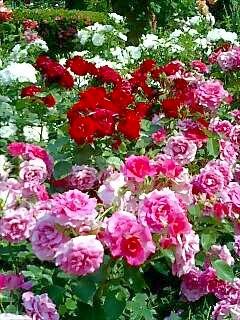 薔薇園の様子