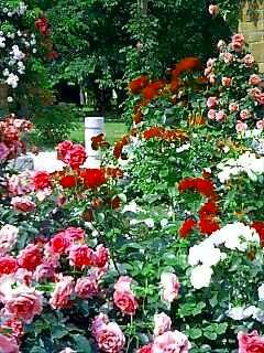 薔薇園の様子2