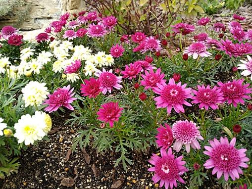 ピンクのダリアと黄色い花