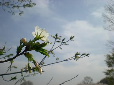 白い桜.JPG