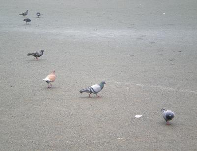 鳩たち.JPG