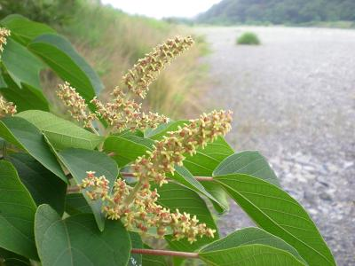 アカメガシワの花.JPG