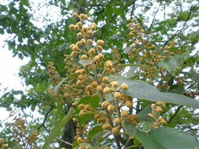 桐の花芽.JPG