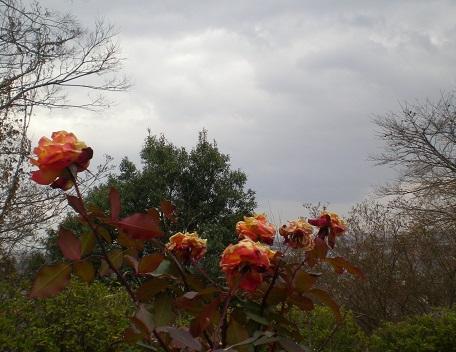 アンネのバラ.jpg