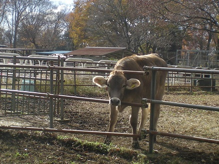 茶色の牛.jpg