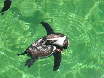 ペンギン水上