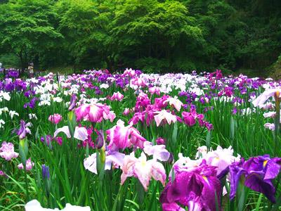 アジサイ,紫陽花,Hydrangea