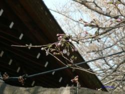 3月21日靖国の桜3