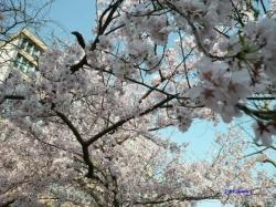 3月21日靖国の桜その2_1