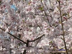 3月21日靖国の桜その2_2