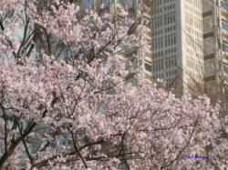 3月21日靖国の桜その2_3