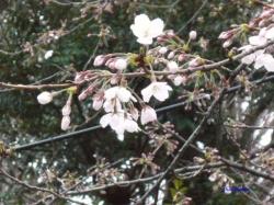 3月22日開花の標本木2