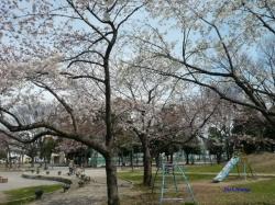 3月22日とある公園の桜1