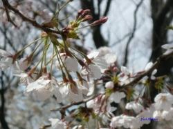 3月22日とある公園の桜2