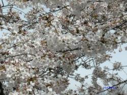 3月22日とある公園の桜3