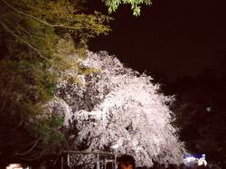 3月29日六義園しだれ桜4