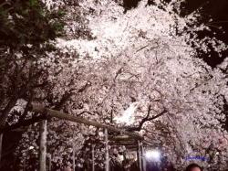 3月29日六義園しだれ桜5