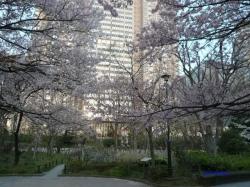 3月31日新宿中央公園桜1