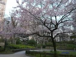 3月31日新宿中央公園桜2