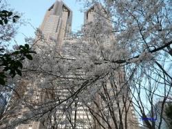 3月31日新宿中央公園桜3