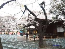 靖国神社夕暮れ時の桜5