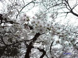 靖国神社夕暮れ時の桜6