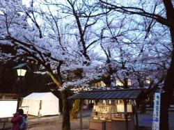 靖国神社夕暮れ時の桜8