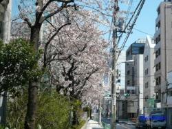 中野区道端の桜1