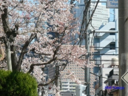 中野区道端の桜2
