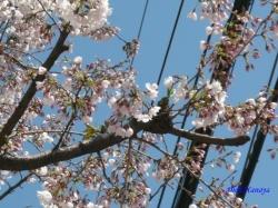 中野区道端の桜3
